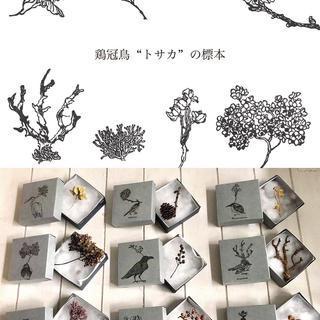 鶏冠鳥の標本